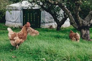 Hühner im Freigehege legen die besten Eier