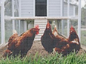 Ein mobiler Hühnerstall ist praktisch