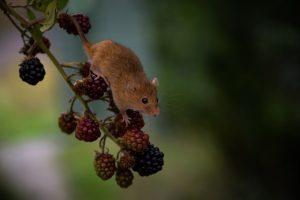 Eine Mäuseplage im Garten ist sehr unangenehm