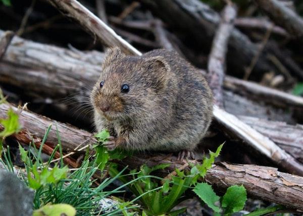 Eine Maus im Garten kann Schaden anrichten