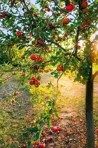 Obst sollte rechtzeitig gepflückt werden
