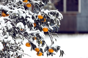 Manche Büsche müssen vor eisigen Temperaturen geschützt werden