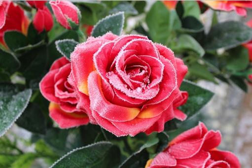Rose im Winter erfroren